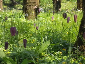 Snakeshead Fritillaries at Thiré